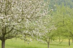 Blossoming apple trees - stock photo