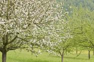 Stock Photo of Blossoming apple trees
