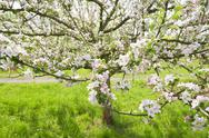 Stock Photo of Blossoming apple tree