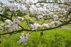 Blossoming Apple Tree Branches - stock photo
