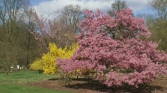 Pink prunus okame  and Yellow forsythia in city park - wide shot Stock Footage