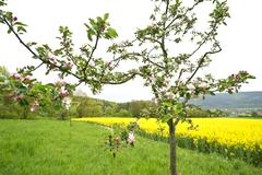 Blossoming Apple Tree with Oilseed Rape Field - stock photo