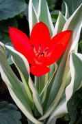 Red Tulip with Variegated Leaves - stock photo