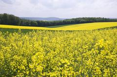 Rapeseed Fields - stock photo