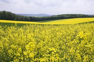 Stock Photo of Rapeseed Fields