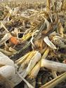 Stock Photo of Threshed Corncobs