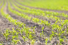 Small corn plants - stock photo