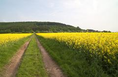 Oilseed rape  Fields Stock Photos