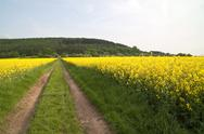 Stock Photo of Oilseed rape  Fields