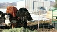 Cows baby calf feeding hay farm ranch HD 5160 Stock Footage