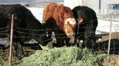 Cows on farm ranch eating hay by barbed wire fence HD 5159 Stock Footage