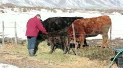 Farm woman pets new borne calf ranch field HD 5173 Stock Footage