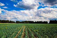 garlic plantation. - stock photo