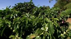 Coffee Plantation 6 Stock Footage