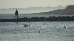 Swan swimming on BalticSea Stock Footage