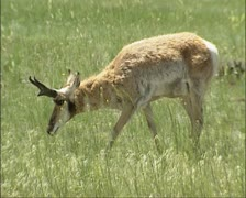 Pronghorn, Antilocapra americana roaming American prairie  Stock Footage
