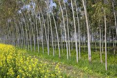 Eucalyptus trees and mustard crop Stock Photos
