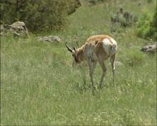 Pronghorn, Antilocapra americana roaming American prairie - stock footage