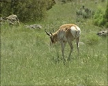 Stock Video Footage of Pronghorn, Antilocapra americana roaming American prairie