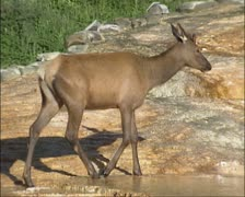 Wapiti bull, juvenile, travertine terrace, Mammoth Hot Springs - stock footage