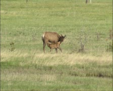 Elk, Wapiti nursing calf - stock footage