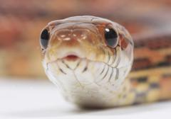 elaphe guttata corn snake colubridae portrait - stock photo