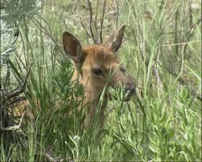 Elk, Wapiti calf in sagebrush - close up head - stock footage