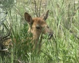 Stock Video Footage of Elk, Wapiti calf in sagebrush - close up head