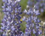 Stock Video Footage of Blue Lupine in bloom- close up.
