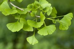 Ginkgo biloba tree Stock Photos