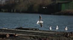 Seagulls at Watergate in Holtenau 05 Stock Footage