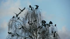 Crows In Flight, Bird, Birds, Fly, Flying Stock Footage