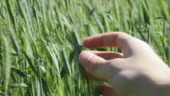 farmer touching green grain - stock footage