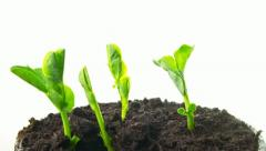 Growing pea sprouts, tilt time-lapse Stock Footage