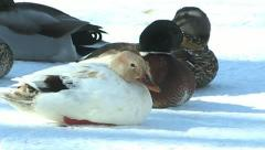 Mallard Ducks Stock Footage