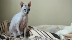 Calm cat sphinx sitting on a sofa in the bedroom Stock Footage