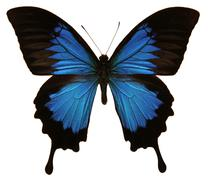 Papilio Ulysses Butterfly - stock photo