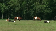 Dutch Belted cattle, red and black in pasture grazing and ruminating Stock Footage
