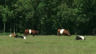 Stock Video Footage of Dutch Belted cattle, red and black in pasture grazing and ruminating