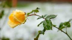 Flower under first wet snow Stock Footage