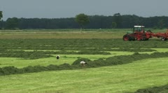 White storks forage in hayland + tractor farmer in background Stock Footage