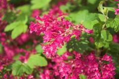 Ribes Flower - stock photo