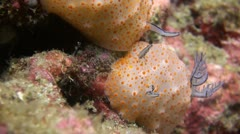 Rare shot of a Nudibranch Mating Clip 4 of 5 Stock Footage