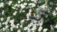 Butterfly on Field Flower, Butterflies and Bees Gathering Pollen, Macro Stock Footage