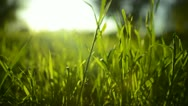 Stock Video Footage of Green Grass Sunlight 19 Dolly in