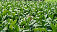 Farmer cut tobacco's flower in farm plant Stock Footage
