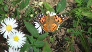 Stock Video Footage of Butterfly on Field Flower, Butterflies and Bees Gathering Pollen, Macro