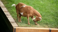 GOAT GRAZING ON GRASS ROOF Stock Footage