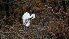 Autumn Egret - stock footage