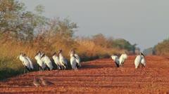 American Wood Storks (Mycteria americana) - stock footage